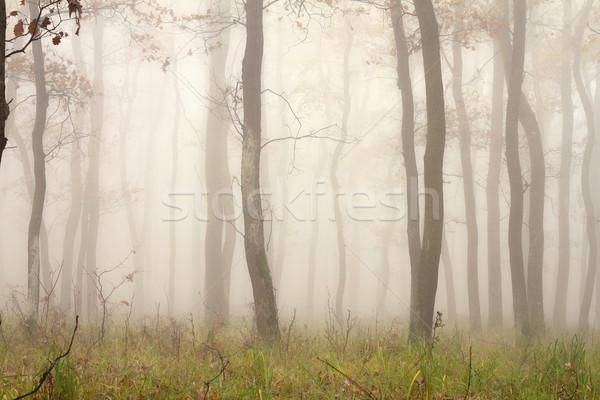 mist through the trees Stock photo © taviphoto