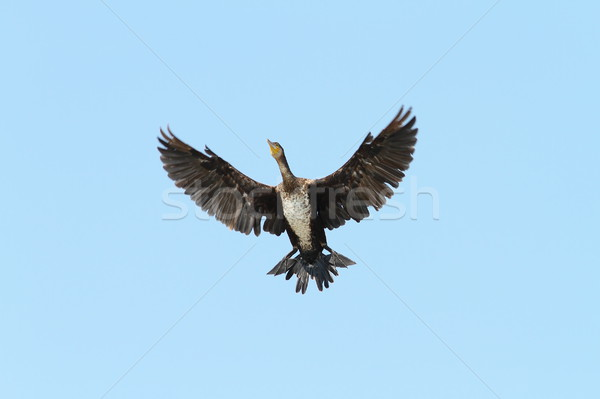 great cormorant spreading wings over blue sky Stock photo © taviphoto