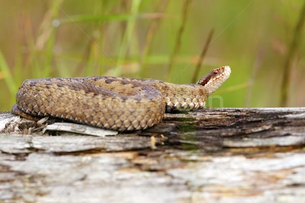 Homme européenne nature serpent animaux belle Photo stock © taviphoto