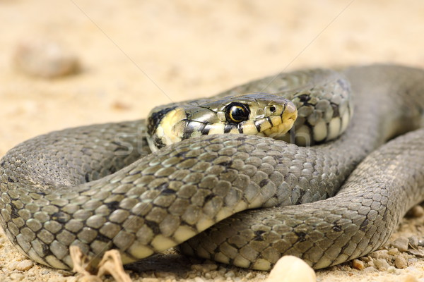 detail of grass snake Stock photo © taviphoto