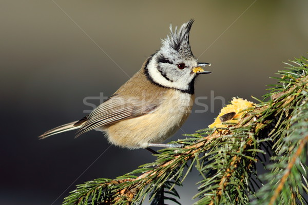 cute crested tit Stock photo © taviphoto