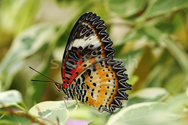 Leopard papillon fond beauté tropicales Photo stock © taviphoto