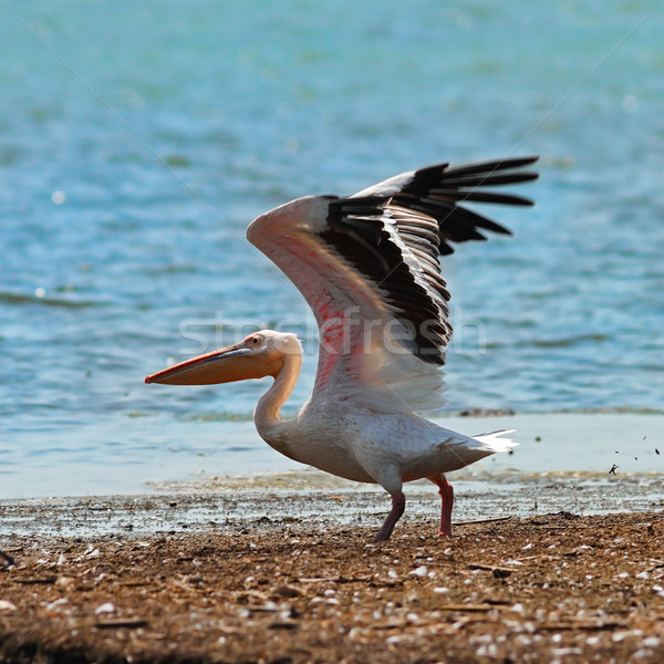 great white pelican taking off from the shore Stock photo © taviphoto