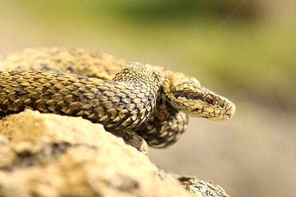 rare european venomous snake  Stock photo © taviphoto