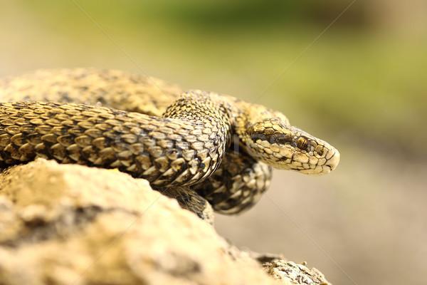 Raro europeo venenoso serpiente húngaro pradera Foto stock © taviphoto