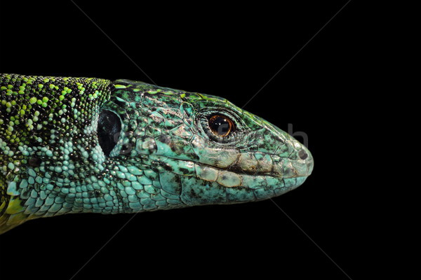 Green lizard isolated portrait Stock photo © taviphoto