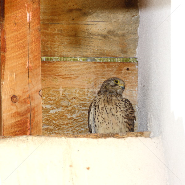 juvenile kestrel on nest Stock photo © taviphoto