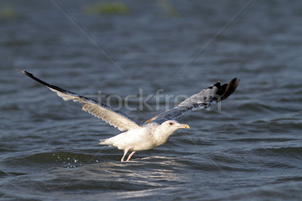 closeup of a gull taking off Stock photo © taviphoto
