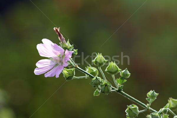 wild violet malva sylvestris Stock photo © taviphoto