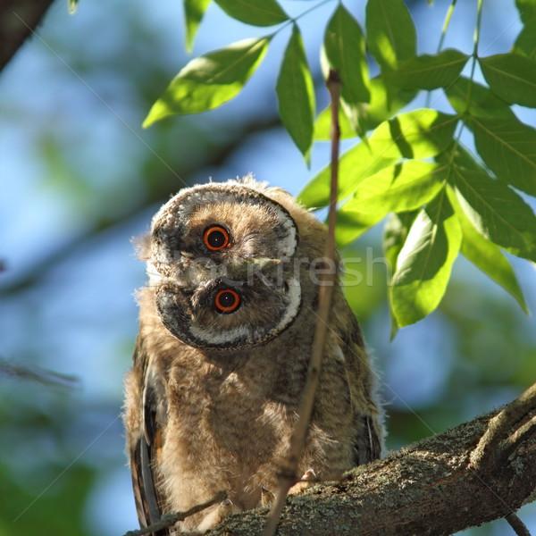 Juvenil árvore coruja ocultação sombra curioso Foto stock © taviphoto