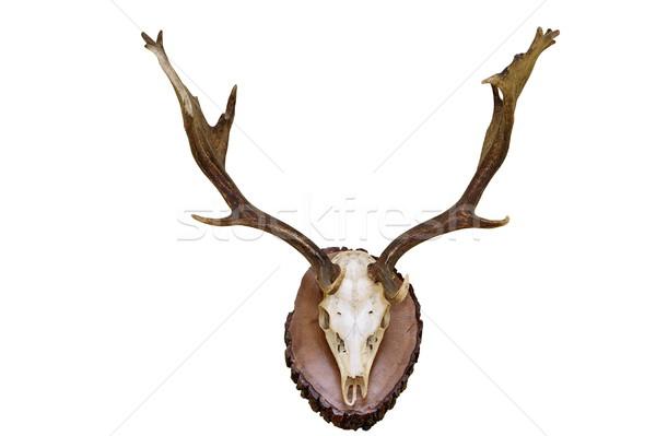 fallow deer hunting trophy Stock photo © taviphoto