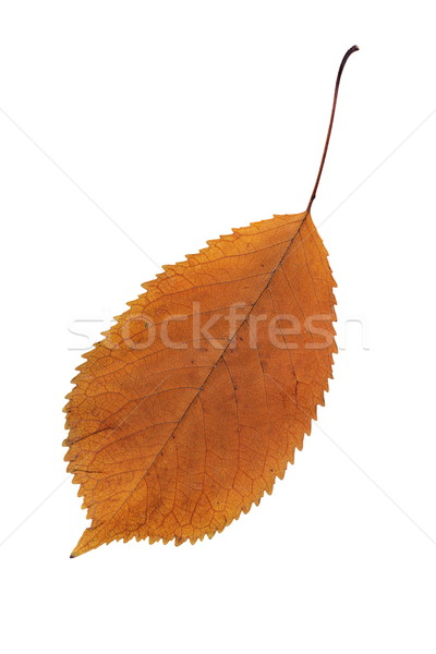 orange color faded leaf Stock photo © taviphoto