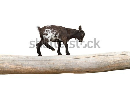 young goat equilibrium exercise Stock photo © taviphoto