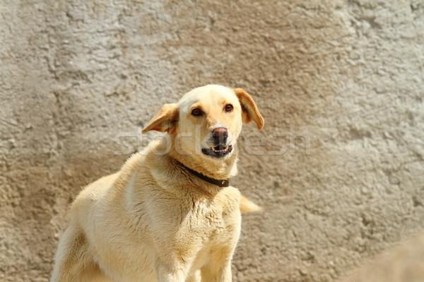 Agresywny psa strach gniew niebezpieczeństwo ssak Zdjęcia stock © taviphoto