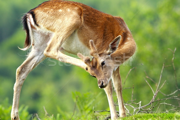 fallow deer scratching because of flies and ticks Stock photo © taviphoto