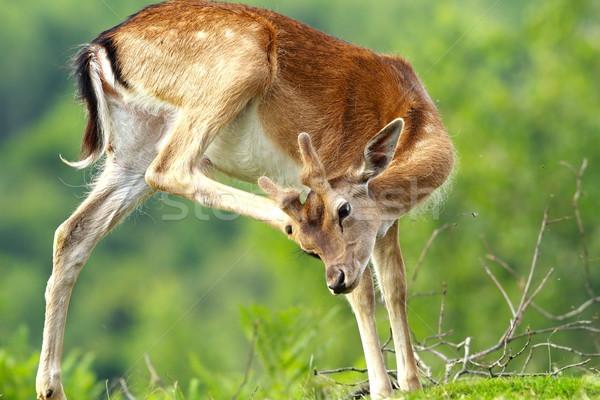 fallow deer scratching because of flies and ticks Stock photo © taviphoto