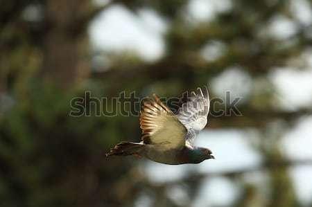 Pombo vôo verde floresta natureza fundo Foto stock © taviphoto