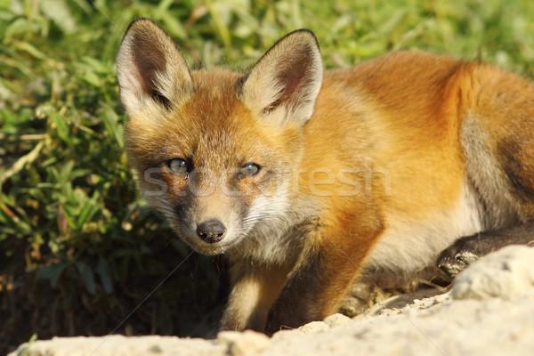 Curieux jeunes Fox regarder caméra printemps Photo stock © taviphoto