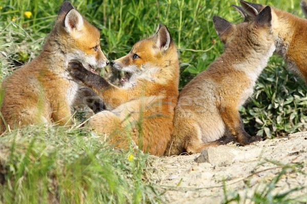 happy fox cubs playing near the den Stock photo © taviphoto