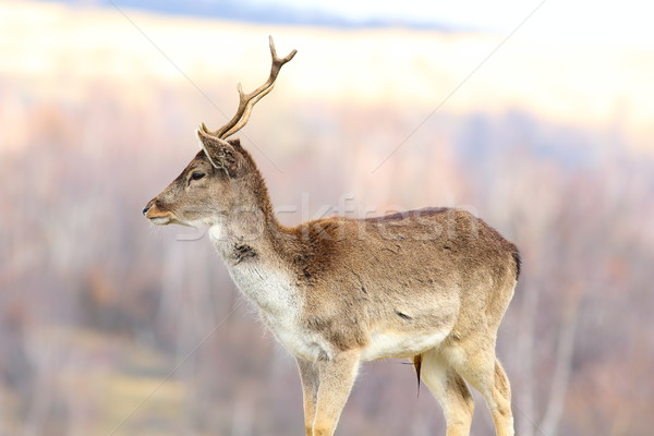 young fallow deer stag Stock photo © taviphoto