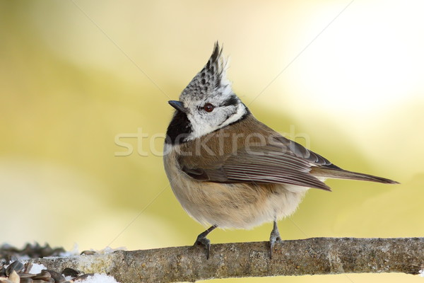 Lophophanes cristatus on twig Stock photo © taviphoto