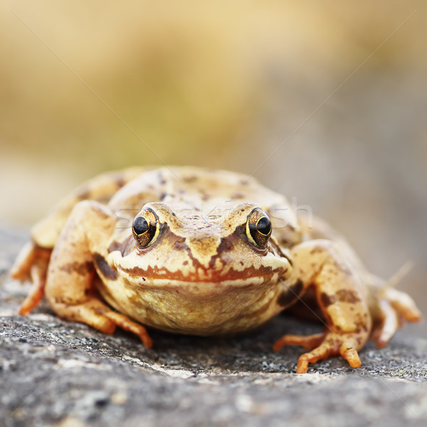 common brown frog macro image Stock photo © taviphoto
