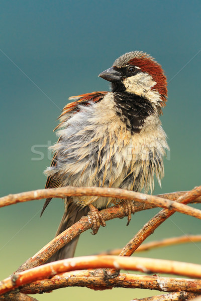 house sparrow perched on twigs Stock photo © taviphoto