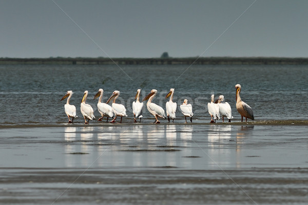 flock of  pelicans in Danube Delta Stock photo © taviphoto
