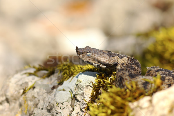 nose horned viper portrait 1 Stock photo © taviphoto