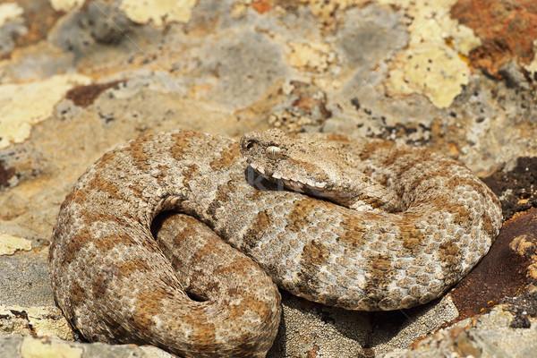 Wildes Tier giftig Schlange Kopf Stock foto © taviphoto