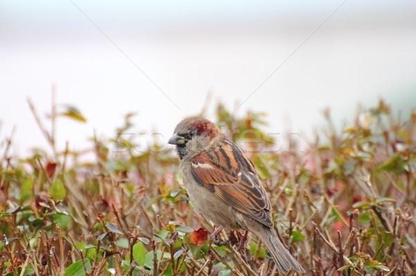 Domu wróbel młodych stałego ptaków Zdjęcia stock © taviphoto