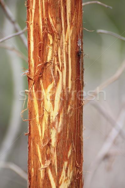 willow bark eaten by deers Stock photo © taviphoto
