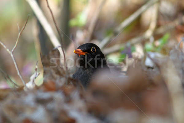 male common blackbird Stock photo © taviphoto