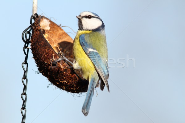 hungry blue tit on hanging feeder Stock photo © taviphoto