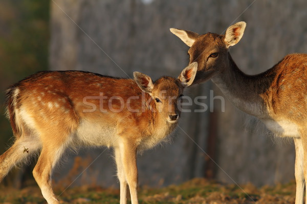 fallow deer calf with hind Stock photo © taviphoto