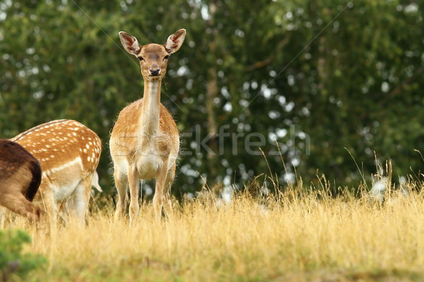 fallow deer hind  Stock photo © taviphoto