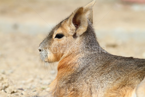 portrait of patagonian cavy Stock photo © taviphoto