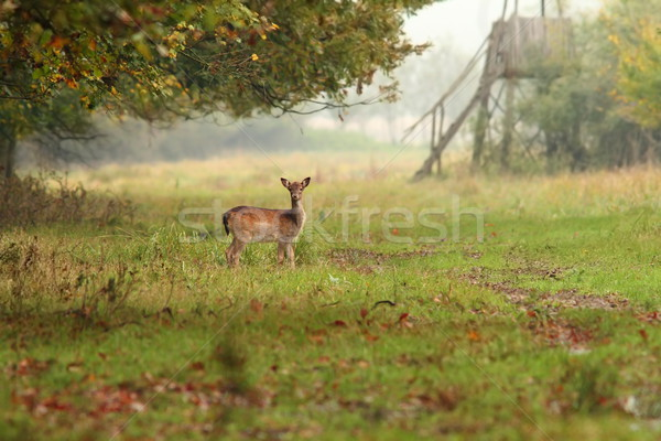Stock photo: fallow deer doe in the forest
