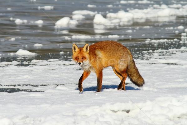 red fox on frozen water Stock photo © taviphoto