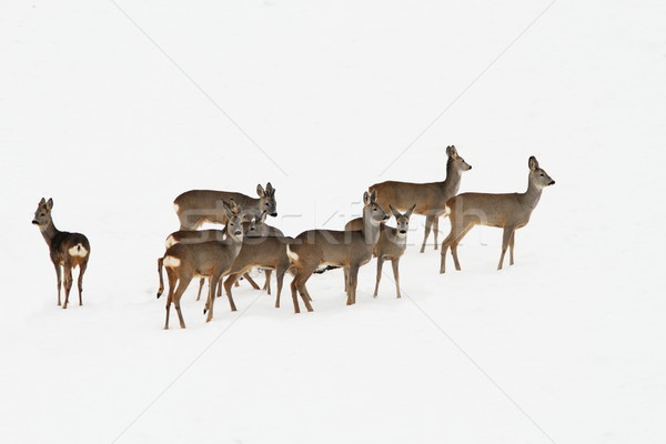 roe deers in a winter day Stock photo © taviphoto