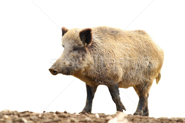 isolated huge wild boar Stock photo © taviphoto
