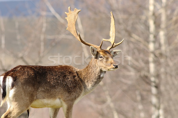 Majestueux cerfs permanent fier nature beauté Photo stock © taviphoto