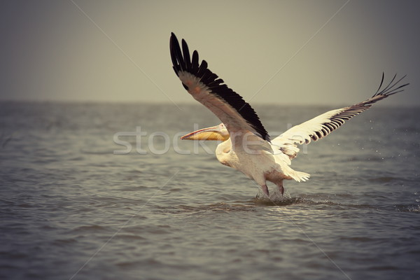 vintage picture of great pelican Stock photo © taviphoto