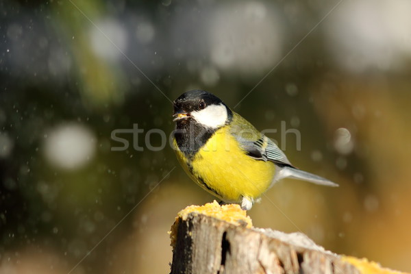 Stock photo: great tit eating lard in a snowy day