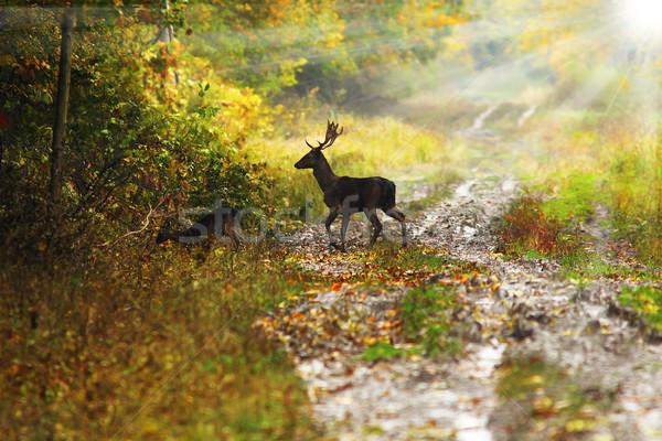 鹿 バック 美しい 夜明け 光 ストックフォト © taviphoto