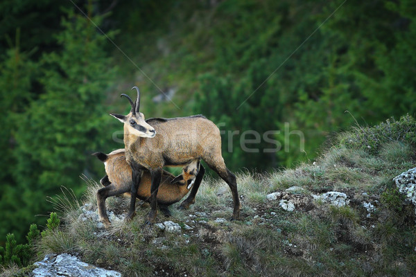 chamois goat  feeding her youngster Stock photo © taviphoto