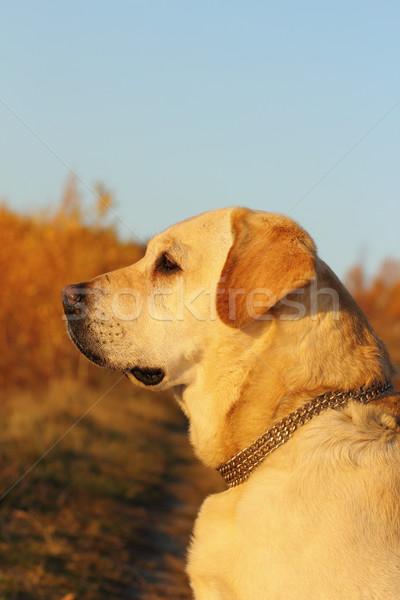 dog profile Stock photo © taviphoto