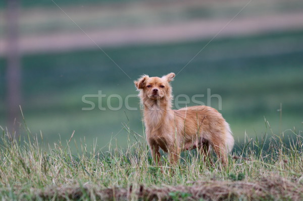 small funny dog  Stock photo © taviphoto
