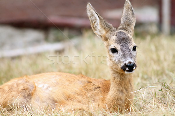 close up of a roe deer fawn Stock photo © taviphoto