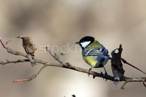 great tit on branch in the garden Stock photo © taviphoto